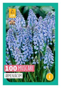 100 Muscari armeniacum