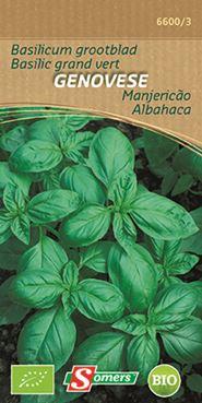 Basilic grand vert Genovese