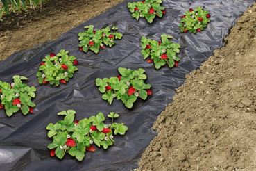 Film de paillage micro-perforcé spécial fraises - LDPE noir, 50µ - 1,40 x 10 m